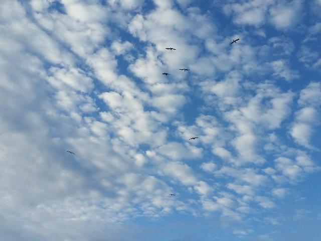 Gulls over Gower