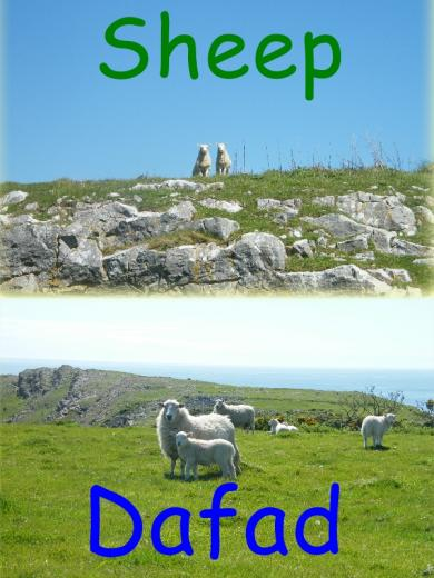 Sheep - Dafad