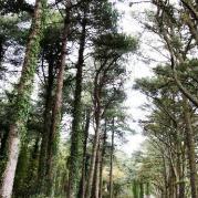 Cwn ivy woods